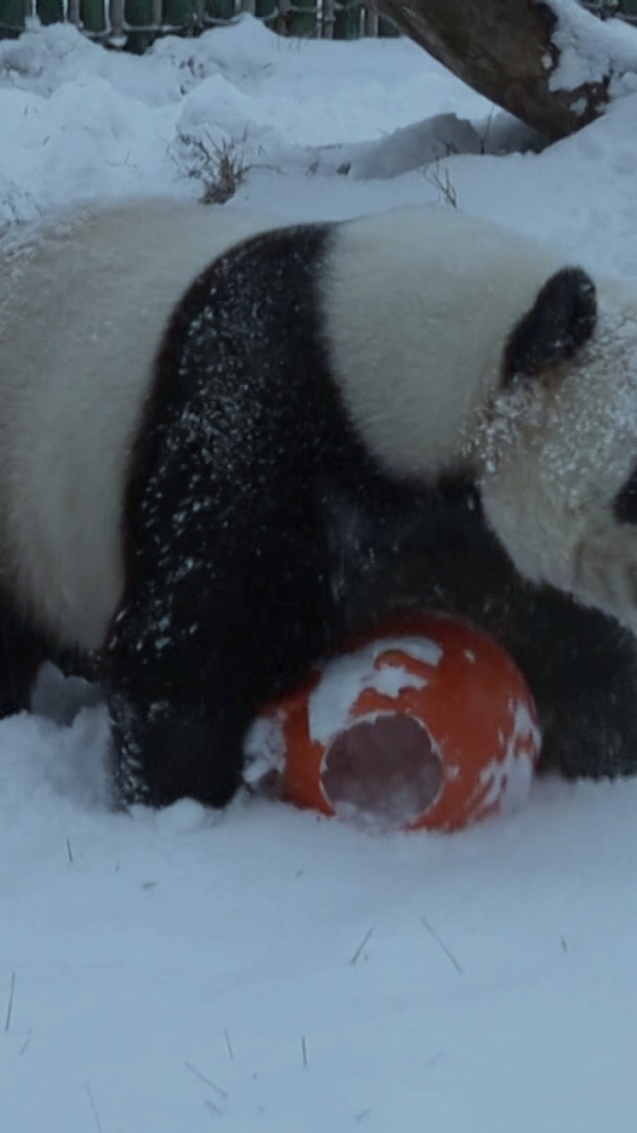 These pandas LOVE the snow