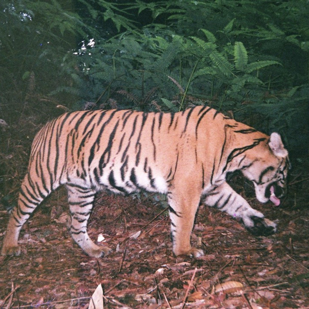 Superstitious villagers feared endangered Sumatran tiger was a shape