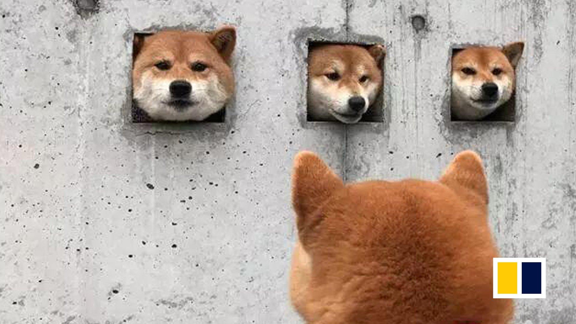 An Unusual Attraction In Japan Three Shiba Inus Peeking Out